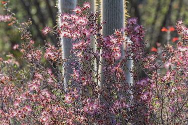 Pink fairy duster (Calliandra eriophylla) growing amongst cacti. Lower Colorado Desert, Northern Baja, Mexico.