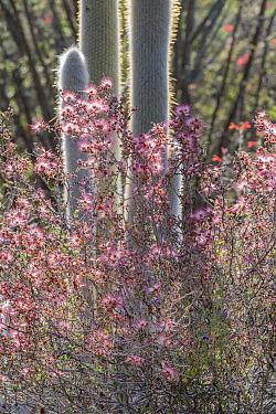 Pink fairy duster (Calliandra eriophylla) flowering amongst cacti. Lower Colorado Desert, Northern Baja, Mexico.