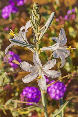 Desert lily (Hesperocallis undulata). Lower Colorado Desert, Northern Baja, Mexico.
