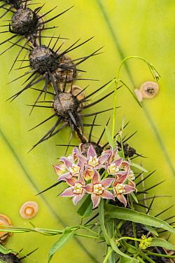 Climbing milkweed (Funastrum cynanchoides) amongst spines of Mexican giant cardon (Pachycereus pringlei). Catavina, Central Baja California, Mexico.