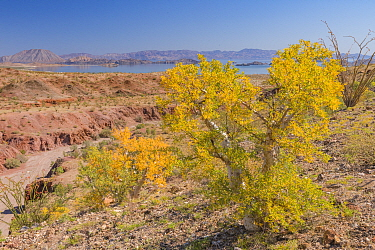 Elephant tree (Bursera microphylla) in Sonoran Desert, leaves turning yellow in drought, Sea of Cortez in background. Bahia de Los Angeles, Baja California, Mexico. 2017.