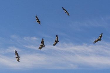 California condor (Gymnogyps californianus) group in flight, tags and radio transmitters on wings. Baja, Mexico. 2017.