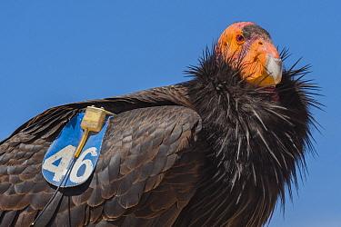 California condor (Gymnogyps californianus) with tag and radio transmitter, portrait. Near San Pedro Martir National Park, Northern Baja California, Mexico. 2017.