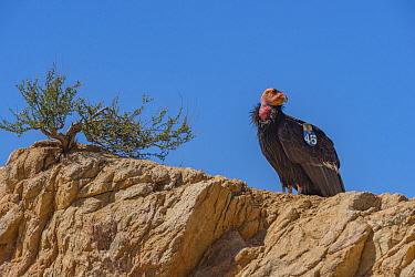 California condor (Gymnogyps californianus) with tag perched on rock. Near San Pedro Martir National Park, Baja California, Mexico. 2017.