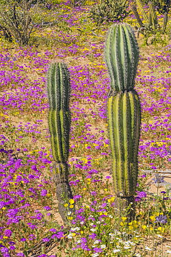 Mexican giant cardon (Pachycereus pringlei), two young cacti amongst flowering Desert sand verbena (Abronia villosa) during spring super bloom. Northern Baja California, Mexico.