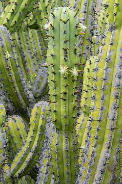 Candelabra cactus (Myrtillocactus cochal) with flowers, near Mission San Borja, Central Baja California, Mexico. March.