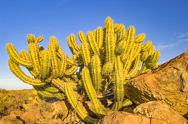 Garambullo cactus (Myrtillocactus geometrizans) amongst rocks. Sierra de San Francisco, Baja California, Mexico.