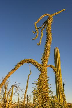 Boojum tree (Fouquieria columnaris) in Sonoran Desert. Catavina, Valle de los Cirios Reserve, Baja California, Mexico. 2013.