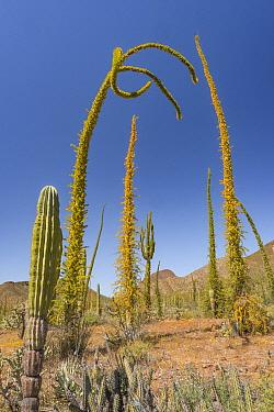 Boojum tree (Fouquieria columnaris) plants in Sonoran Desert, leaves turning yellow in drought, hills in background. Near Bahia de Los Angeles, Baja California, Mexico. 2017.