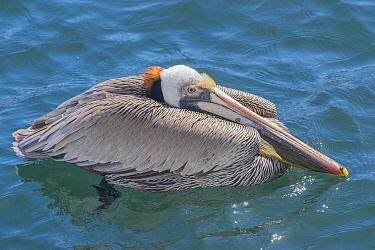Brown pelican (Pelecanus occidentalis). Espiritu Santo National Park, Mexico.