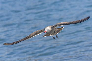 Heermann's gull (Larus heermanni) in flight over sea. Espiritu Santo National Park, Mexico.