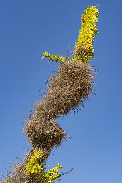 Small ballmoss (Tillandsia recurvata) growing on Boojum tree (Fouquieria columnaris) branch. Baja California, Mexico.