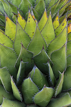 Coastal agave (Agave shawii) leaves. Near Bahia de Los Angeles, Baja California, Mexico.
