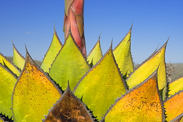 Coastal agave (Agave shawii) leaves dying after flower has bloomed. North Baja California, Mexico.