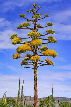 Coastal agave (Agave shawii) flowering, near Bahia de Los Angeles, Baja California, Mexico.