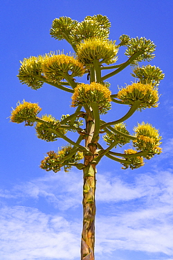 Coastal agave (Agave shawii) flowering against blue sky, near Bahia de Los Angeles, Baja California, Mexico.