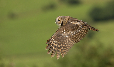 Tawny owl (Strix aluco) in flight, Yorkshire, UK. Captive.