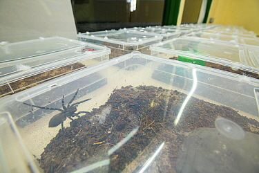 Deserta Grande wolf spiders (Hogna ingens) breeding sub-adults in their rearing tanks, part of a captive breeding program, Bristol Zoo Gardens, Bristol, UK. These are the first captive-bred sub-adults...