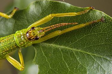 Close up of a Lord Howe Island stick insect (Dryococelus australis), Bristol Zoo Gardens, Bristol, UK. Captive.