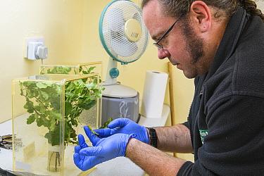 Lord Howe Island stick insect (Dryococelus australis) held by Mark Bushell, Bristol Zoo Gardens, Bristol, UK. Model released.