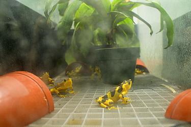 Harlequin frogs (Atelopus varius) in vivarium in captivity at the El Valle de Anton Conservation Centre (EVACC), breeding program, Panama. Critically endangered.