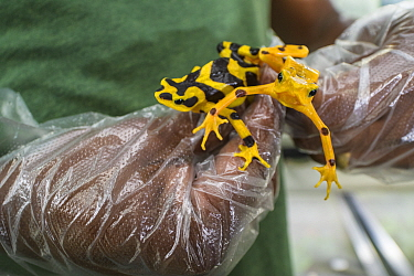 Harlequin frogs (Atelopus varius) in captivity, held in gloved hands at the El Valle de Anton Conservation Centre (EVACC), breeding program, Panama. Critically endangered.