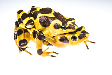 Harlequin frog (Atelopus varius) mating couple in captivity at the El Valle de Anton Conservation Centre (EVACC), critically endangered, Panama