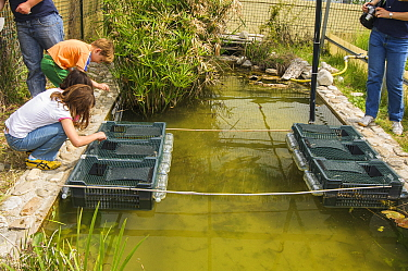 Children looking into submerged crates containing European terrapins (Emys orbicularis ingauna) captive-bred for release during an open day at Life Emys Project, Centro Emys, Albenga, Savona, Italy. M...
