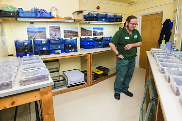 Mark Bushell in a laboratory with Deserta Grande wolf spiders (Hogna ingens) in rearing tanks, part of a captive breeding program, Bristol Zoo Gardens, Bristol, UK. These are the first captive-bred su...