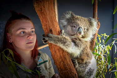 Koala (Phascolarctos cinereus) female named Toby' which was rescued from Gelantipy (East Gippsland, Victoria) following the bushfires, is cared for by zoo keeper Courtney Pridgeon. Healsville Sanctuar...