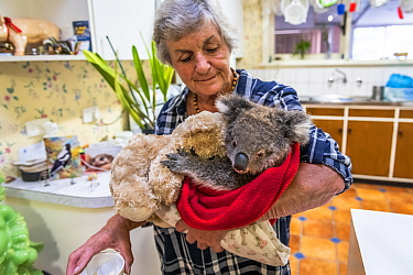 Wildlife rescuer and carer Lorna King takes a male koala River' to her kitchen table, ready to feed him a food supplement. Model released