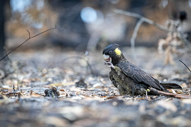 Yellow-tailed black cockatoo (Calyptorhynchus funereus) feeding onseeds from a burnt Banksia tree. Near Bruthen, Victoria, Australia. January 2020