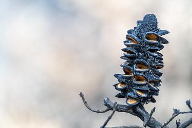 Banksia tree cone, burnt during recent bushfires. Near Bruthen , Victoria, Australia. January 2020
