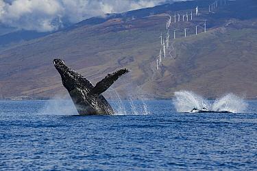Humpback whale (Megaptera novaeangliae) breaching as calf splashes down after a breach; windmills in background produce renewable energy; Hawaii Humpback Whale National Marine Sanctuary, Maui, Hawaii.