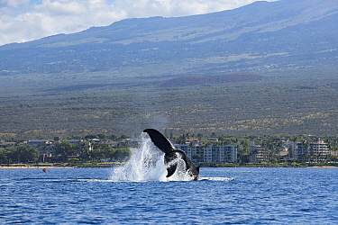 Humpback whale (Megaptera novaeangliae) peduncle throw or tail breach, Hawaii Humpback Whale National Marine Sanctuary. Kihei, Maui, Hawaii,
