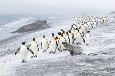 King Penguins (Aptenodytes patagonicus) approached by an Antarctic Fur Seal (Arctocephalus gazella). A few pecks from the penguins caused the seal to retreat. Southern elephant seal (Mirounga leonina)...