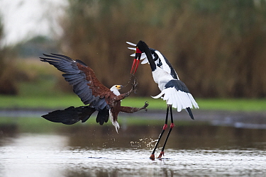 African fish eagle (Haliaeetus vocifer) attacking a female Saddle-billed Stork (Ephippiorhyncus senegalensis )trying to steal a fish it has just caught. Liuwa Plains National Park, Zambia