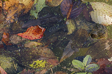 Snapping turtle (Chelydra serpentina) amongst fallen leaves. Maryland, USA, September.