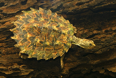 White-throated snapping turtle (Elseya albagula) juvenile, Fitzroy River tributary, Queensland, Australia
