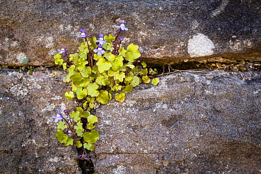 Ivy-leaved toadflax (Cymbalaria muralis), growing on the wall of the 900-year-old Tintern Abbey. Monmouthshire, England, UK. April.