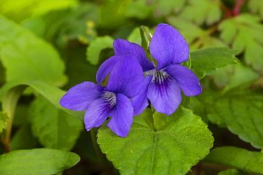 Common dog violet (Viola riviniana) Catbrook, Monmouthshire, April