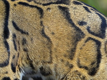 Clouded leopard (Neofelis nebulosa) close up of coat colour and patterns, Captive.