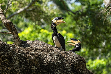 Malabar pied hornbills (Anthracoceros coronatus) , female and male pair perched in tree, Yala National Park, Southern Province, Sri Lanka.