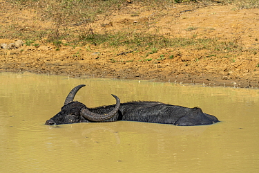 Water buffalo (Bubalus bubalis) soaking to cool down from the heat, Yala National Park, Southern Province, Sri Lanka.