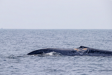 Injured dorsal fin of Blue whale sticking out of the surface (Balaenoptera musculus brevicauda). This may be the pygmy sub-species of blue whale, Balaenoptera musculus. Mirissa, Sri Lanka, Indian Ocea...