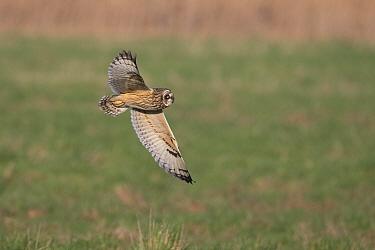 Short-eared owl (Asio flammeus) flying over grassland. Norfolk, England, UK. January.