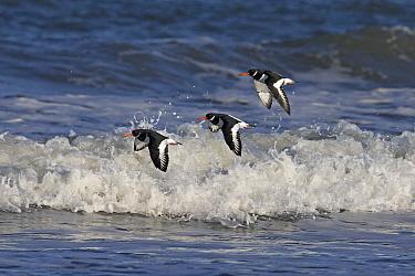 Oystercatcher (Haematopus ostralegus), three flying along coast. Norfolk, England, UK. November.