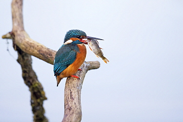 Common kingfisher (Alcedo atthis) feeding on fish, perched on tree snag. Suffolk, England, UK. February. Sequence 1/3.
