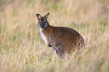 Red-necked wallaby (Macropus rufogriseus). Bedfordshire, England, UK. December. Captive.