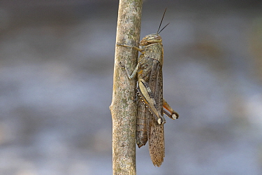 Egyptian grasshopper (Anacridium aegyptium) on branch. Mallorca, Spain. August.